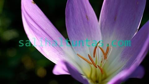 Acı Çiğdem Çiçeği (Crocus Flower)